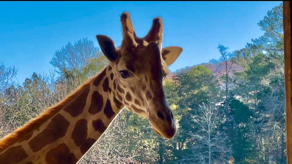 An Aquarium and Zoos Near Madison, Alabama: There are a handful of excellent day trip options from the northern Alabama city of Madison, including several zoos and the Tennessee Aquarium.