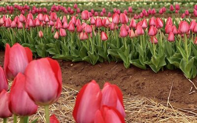 The Tulips at Hubert Family Farms: 5 Tips to Enhance Your Visit